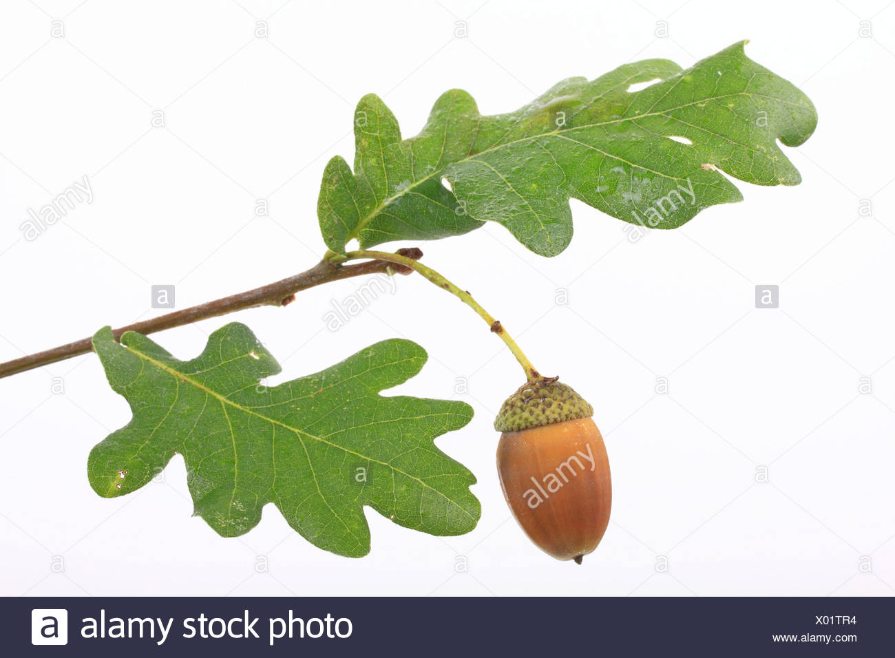 An acorn with oak leaves, English oak (Quercus robur) - Stock Image