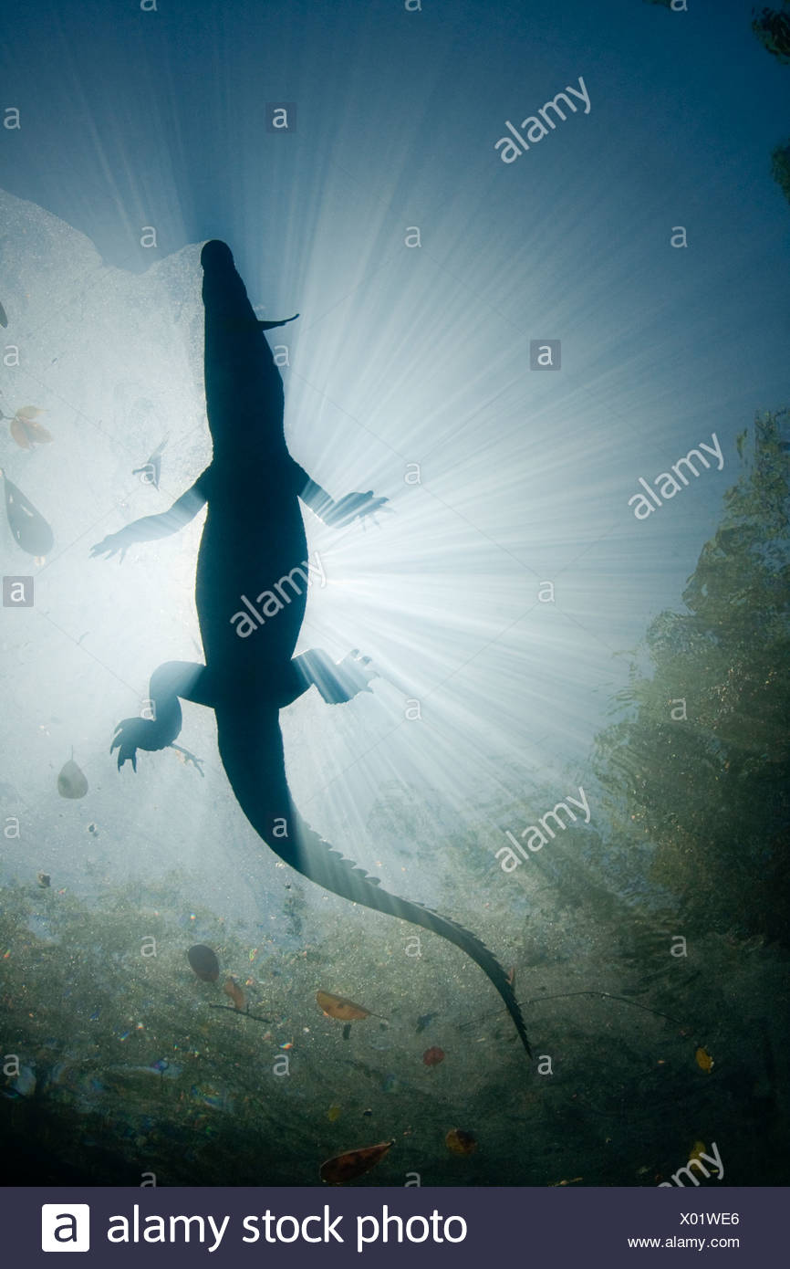 Morelet's / Mexican crocodile (Crocodylus moreletii) in cenote. Yucatan Peninsula, Mexico. Endangered - Stock Image