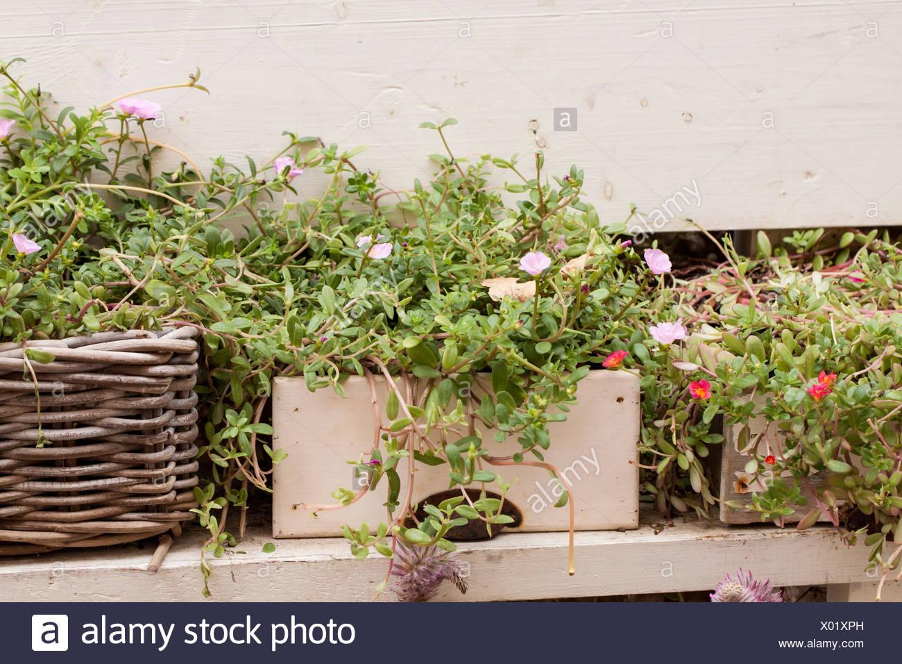 Kleine Töpfe Am Fenster Mit Frischen Grünen Kräuter Basilikum Blume Gewürze    Stock Image