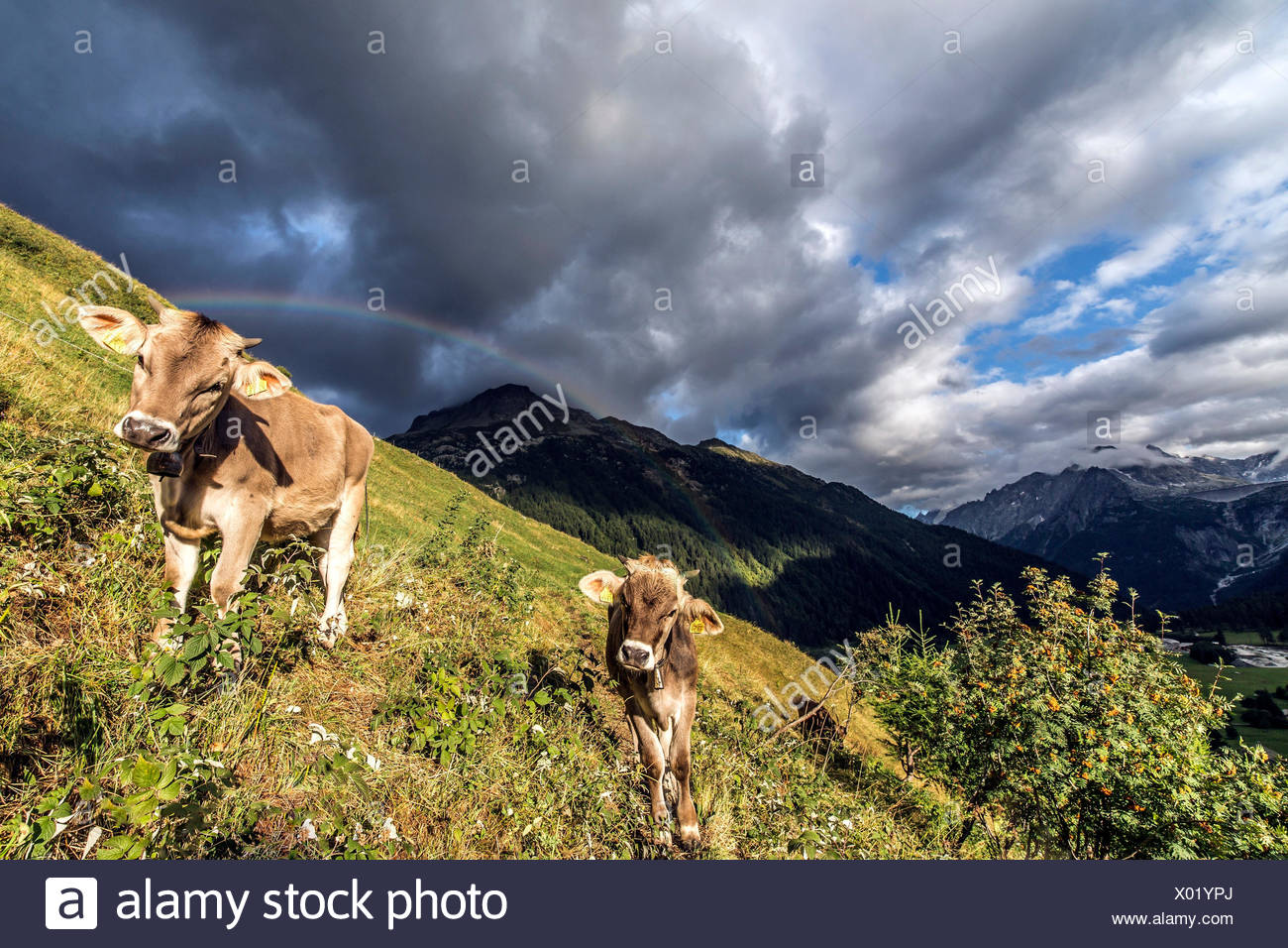 An unexpected rainbow appears at dawn over some cows while grazing near Casaccia, Val Bregaglia Canton of Graubunden Switzerland Europe - Stock Image