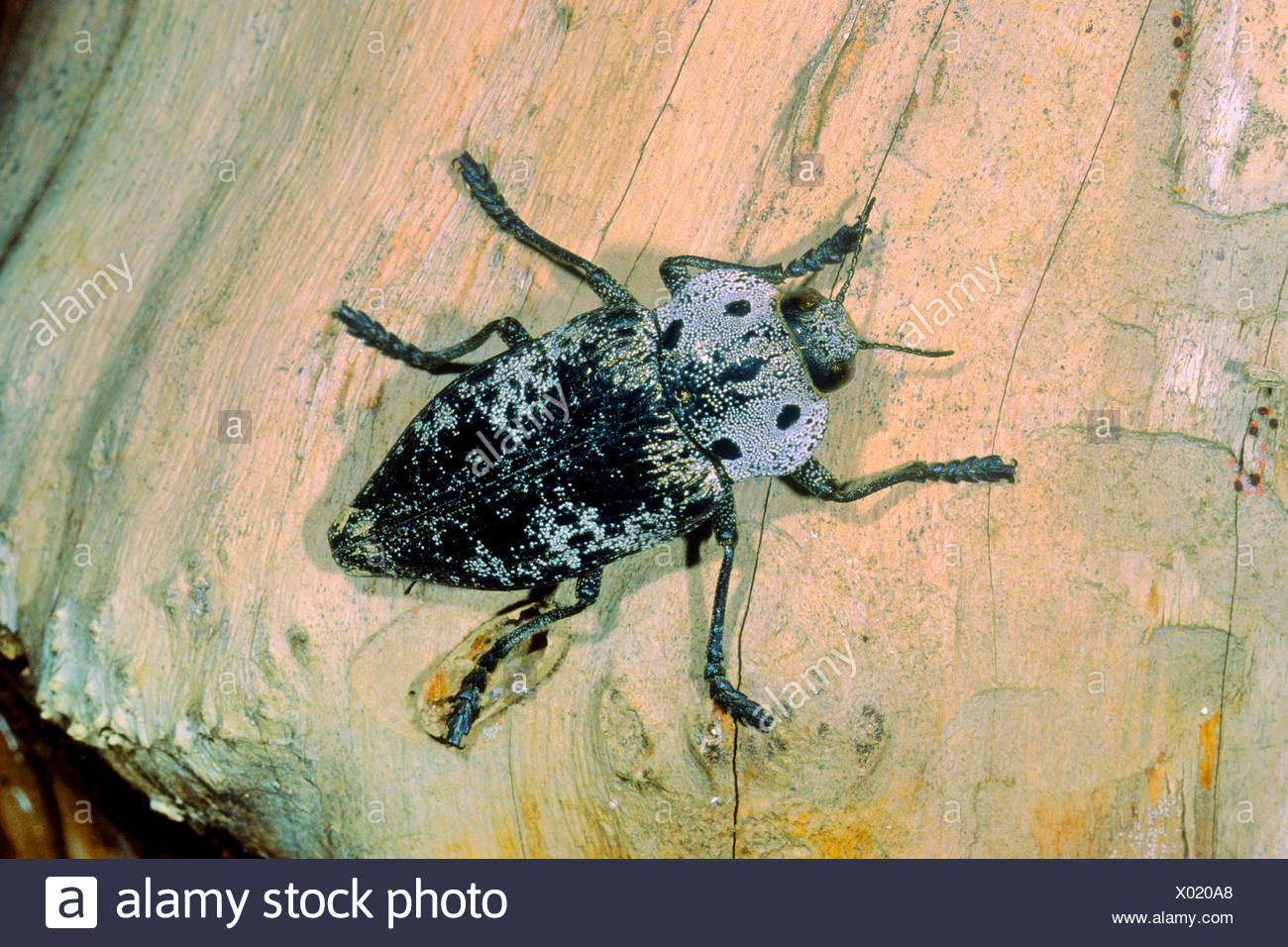 Peach Rootborer, Metallic Wood Boring Beetle (Capnodis tenebrionis), on wood, Germany - Stock Image