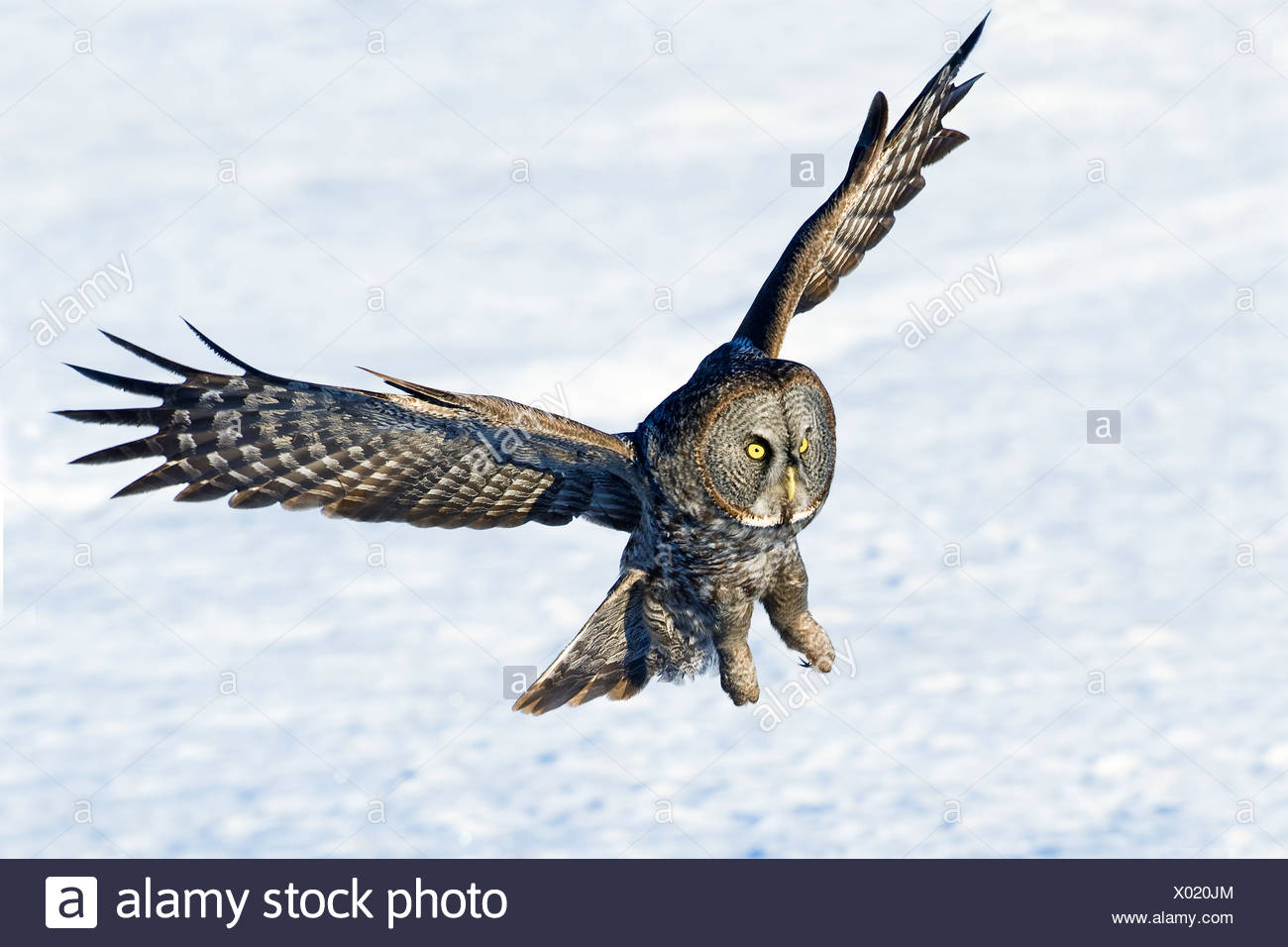 Hunting great gray owl (Strix nebulosa), boreal forest, northern Alberta, Canada - Stock Image