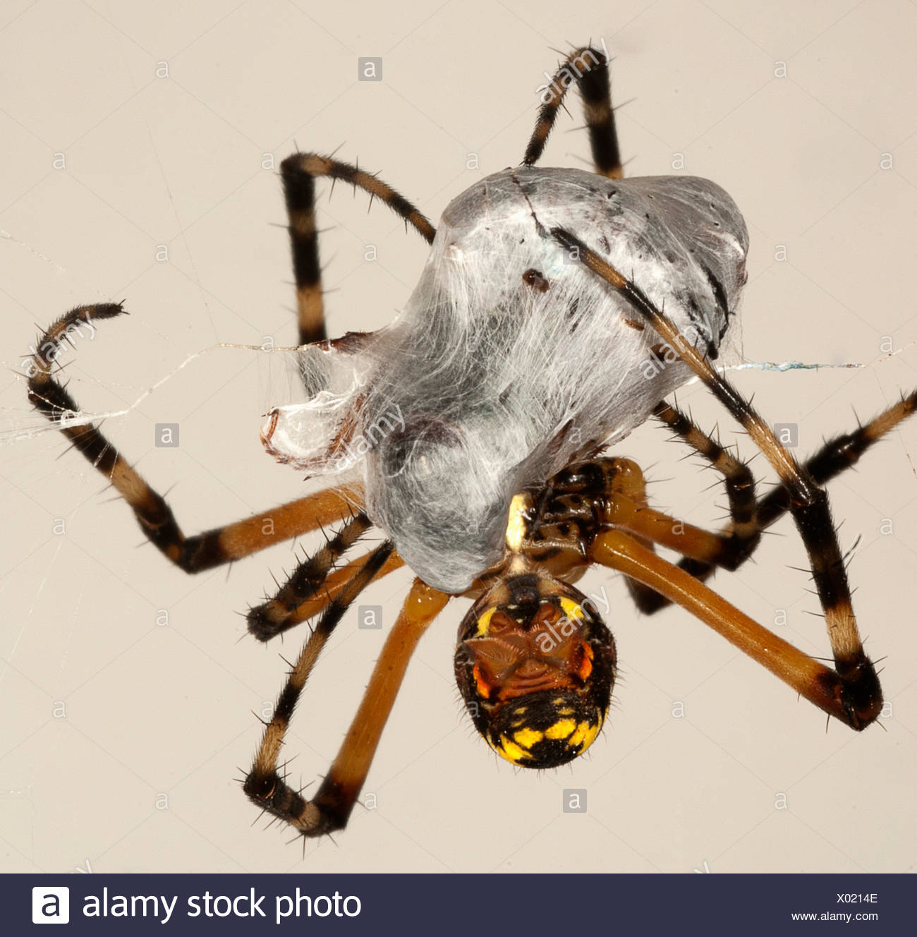 Spider wrapping its prey - Stock Image