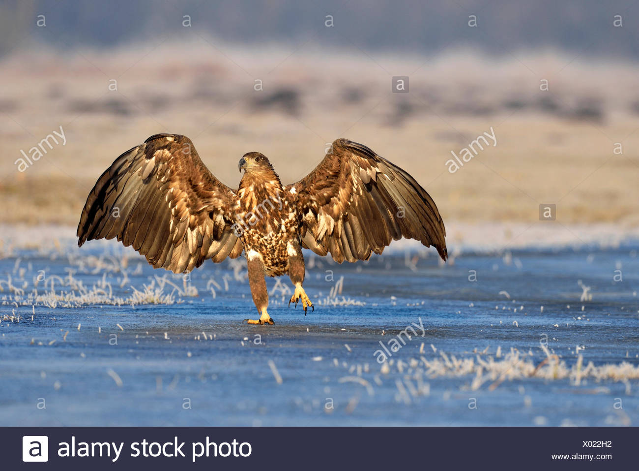 White-tailed Eagle (Haliaeetus albicilla), hopping on ice, Poland - Stock Image