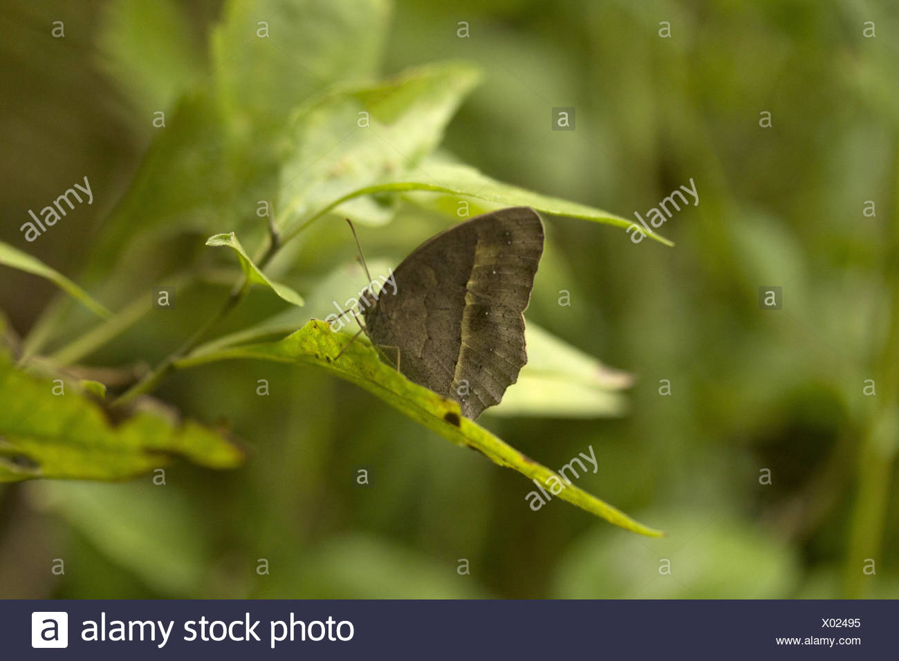 Common bush brown, Mycalesis perseus, Manu,Tripura, India. Nymphalidae : Brush Footed Butterflies - Stock Image