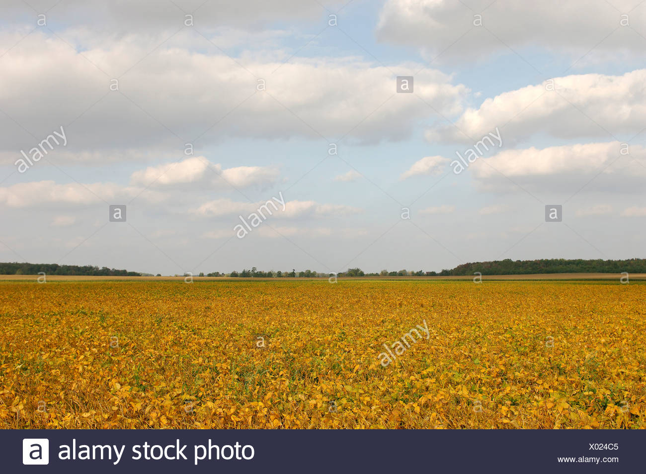 fields field agriculture soy soy bean cultivation outhouse scenery landscape Forest Ontario Canada - Stock Image