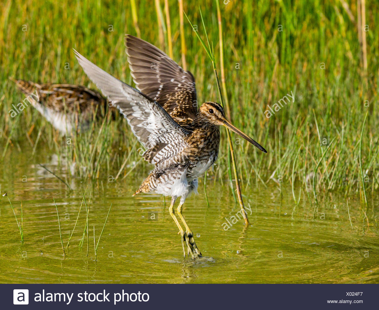 common snipe (Gallinago gallinago), in shalow water bathing adult bird flapping wings, Germany - Stock Image