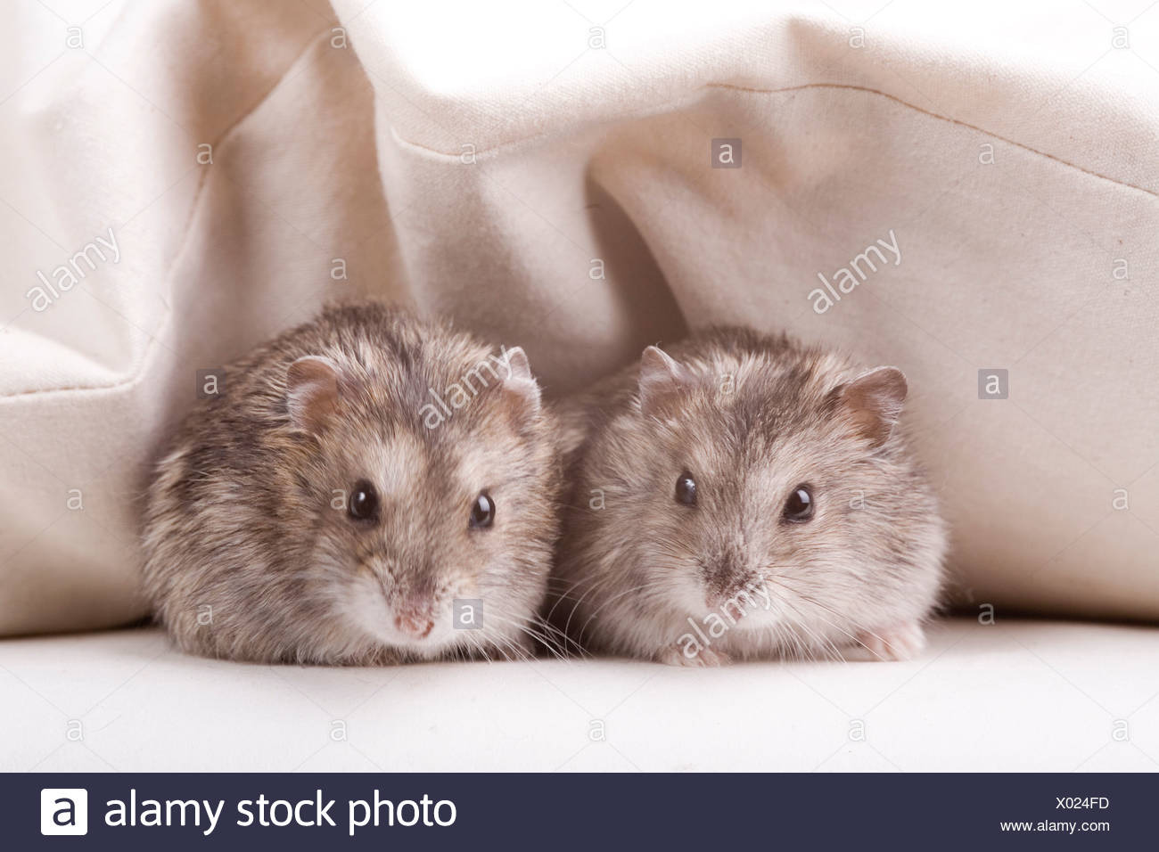 Two hamster in bed - Stock Image