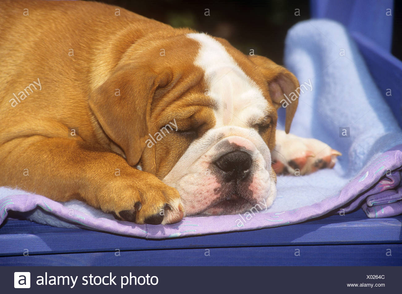Lilac English Bulldog High Resolution Stock Photography And Images Alamy