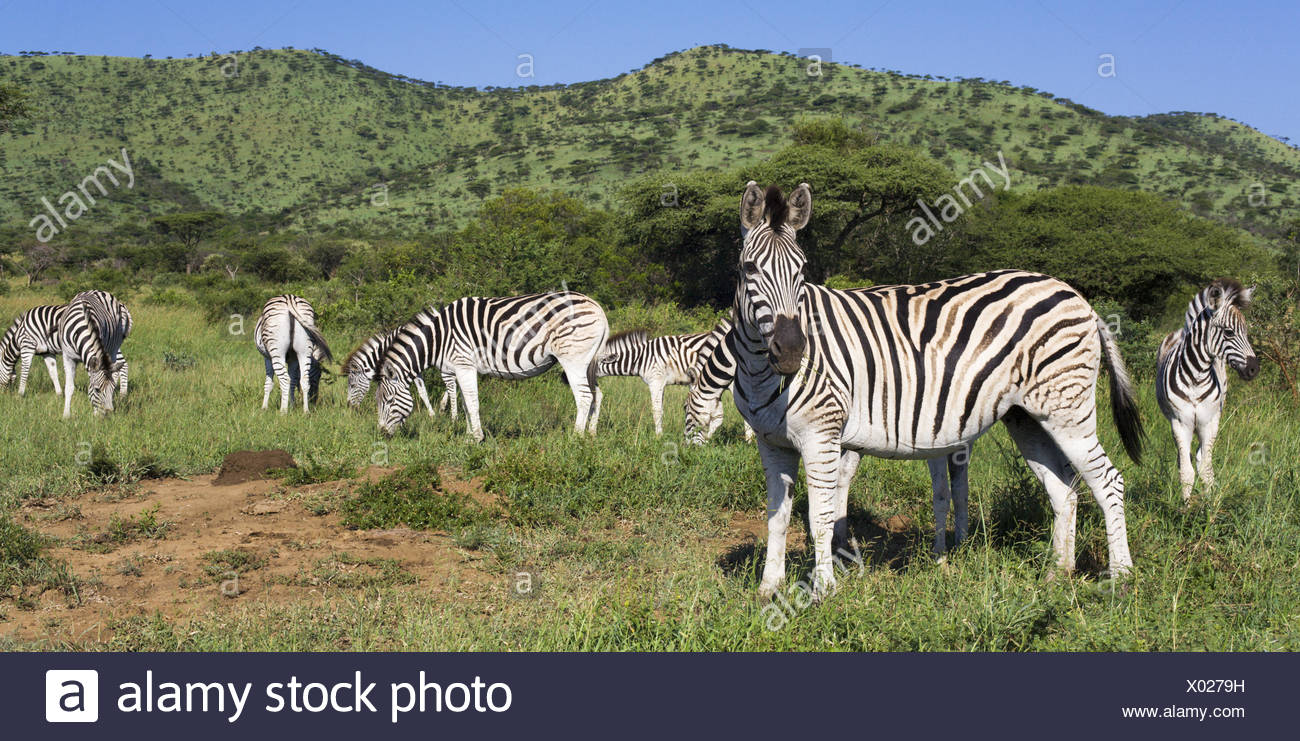 Steppenzebra, (Equus quagga), Plains Zebra Stock Photo