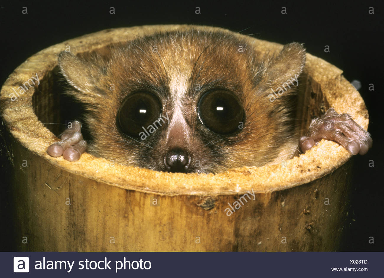 Red mouse-lemur, Brown mouse-lemur, Russet mouse-lemur (Microcebus rufus), looking out of a bamboo cane - Stock Image