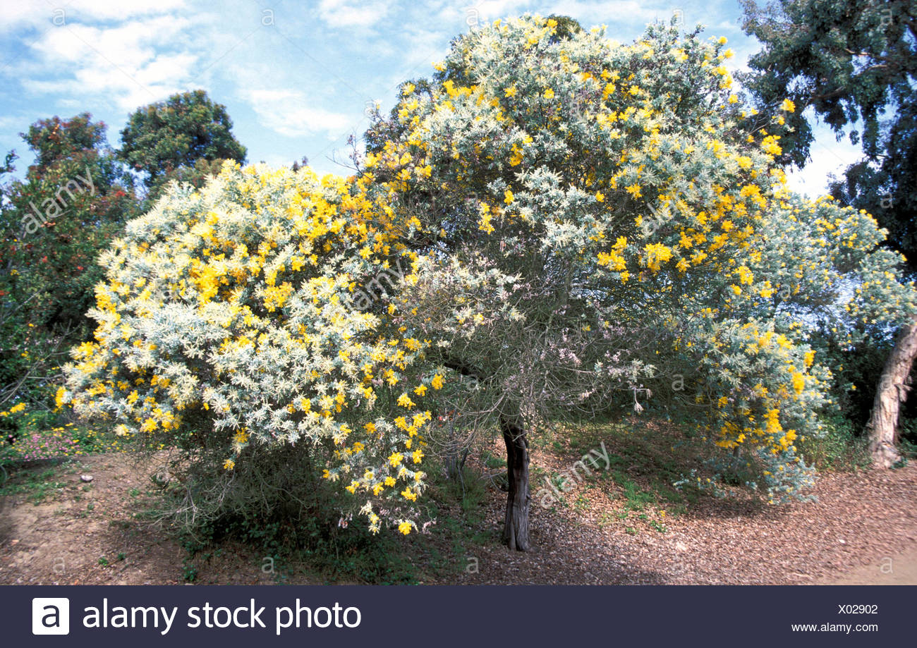 Acacia Podalyriifolia Shrub Yellow Flowers Whole Stock Photo