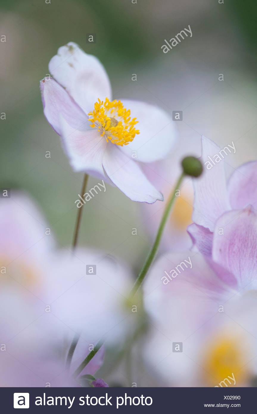 Herbst Anemone Herbstanemone Japanisches Windroeschen Weisse