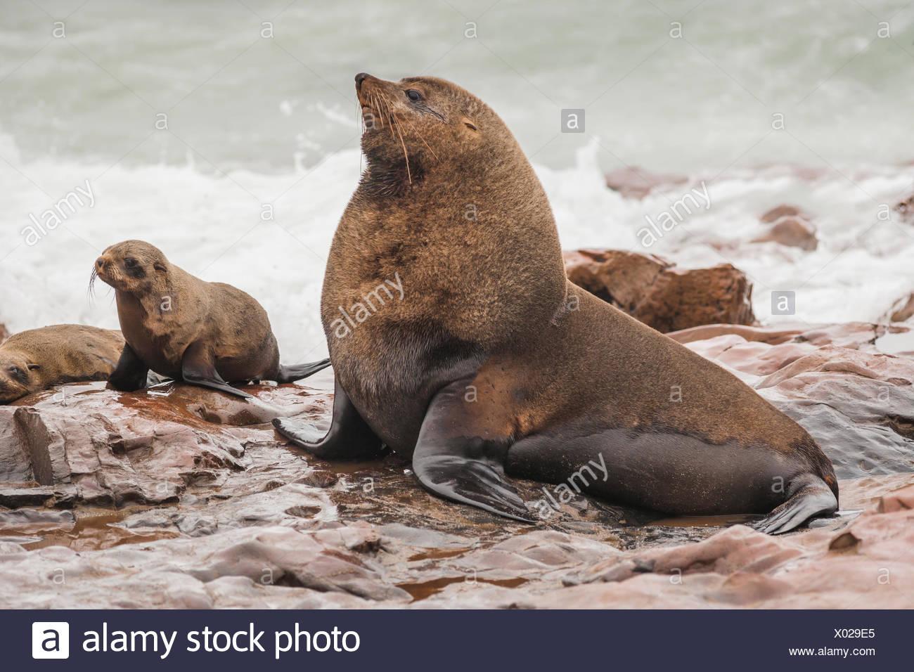 Cape Fur Seal bull showing impress behaviour - Stock Image