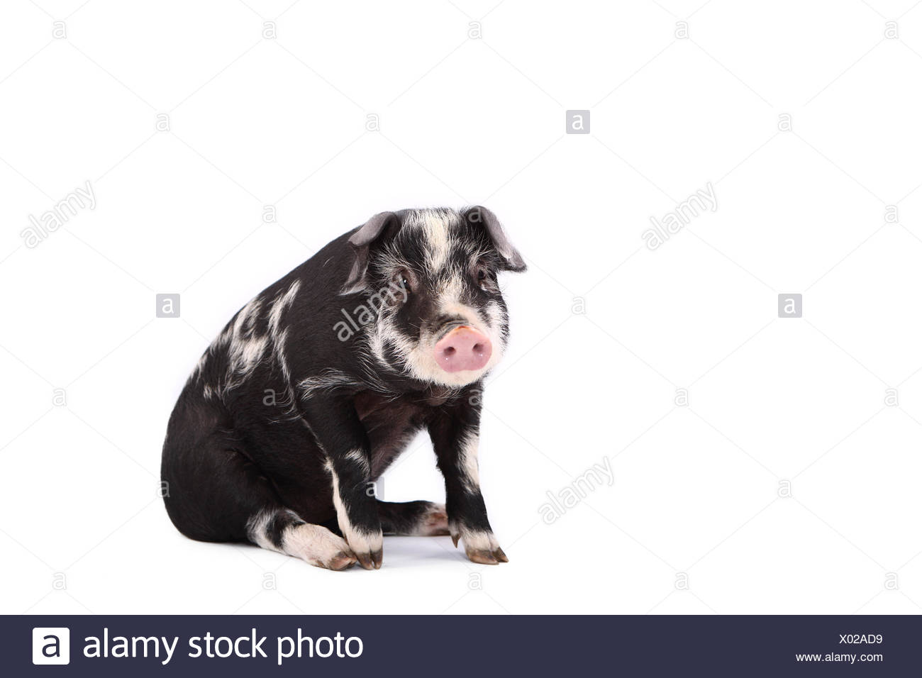 Turopolje Pig. Piglet sitting. Studio picture against a white background. Germany Stock Photo