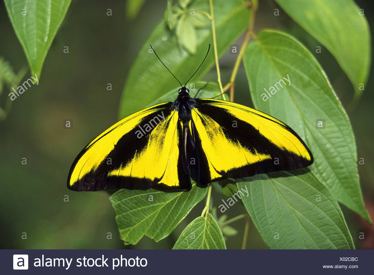 Goliath Birdwing Butterfly (Ornithoptera goliath samson), male sitting on a branch, Indonesia, Western New Guinea - Stock Image