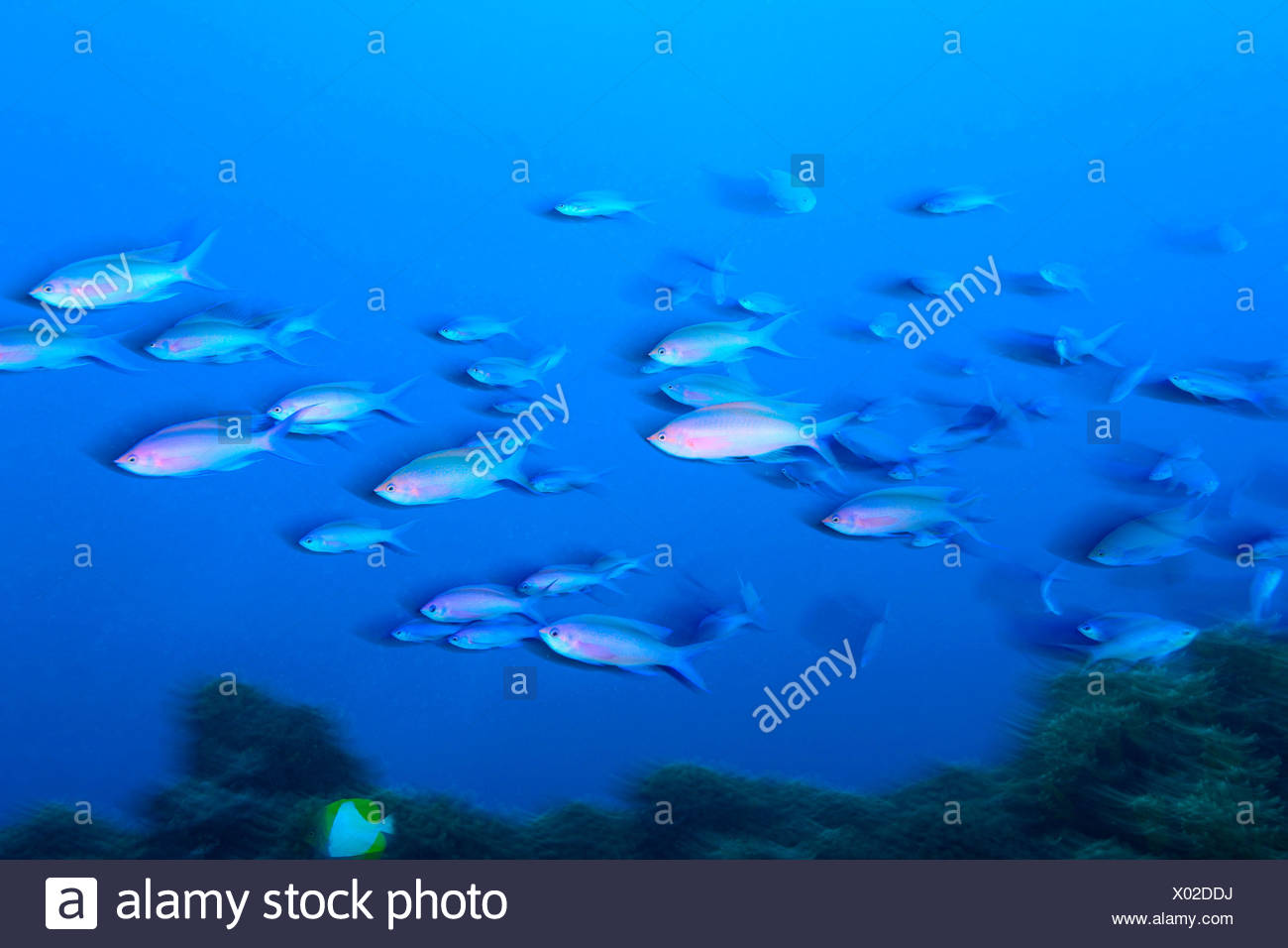Purple Anthias Pseudanthias tuka Moorea Island French Polynesia South Pacific Stock Photo