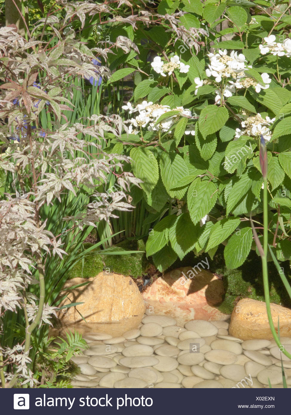 oyal Horticultural Society Chelsea Flower Show in London Lacecap hydrangeas set beside small, shallow pool decorated pebbles - Stock Image