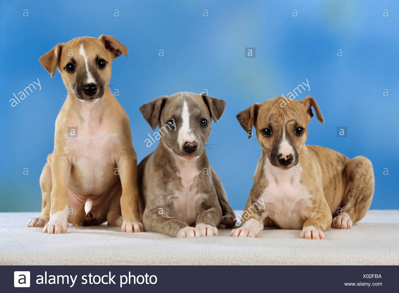 three whippet puppies - cut out Stock Photo