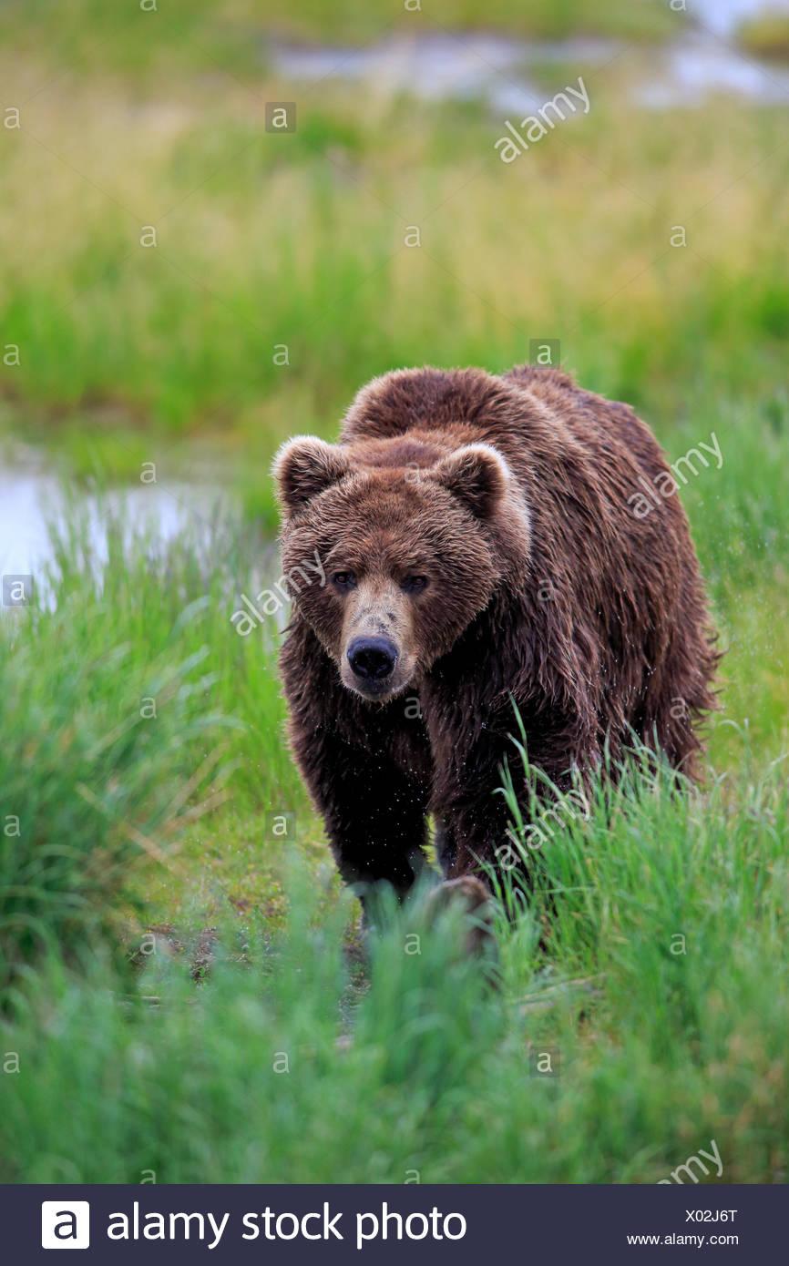 Grizzly Bear (Ursus arctos horribilis), adult, male, Brooks River, Katmai National Park and Preserve, Alaska, United States - Stock Image