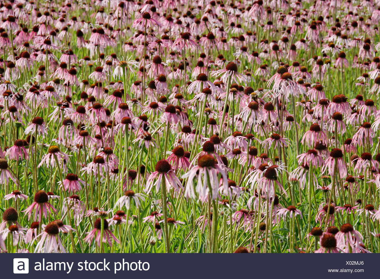 Field of Pale Purple Coneflowers (Echinacea pallida), medicinal plant, Heilsbronn near Ansbach, Bavaria, Germany - Stock Image