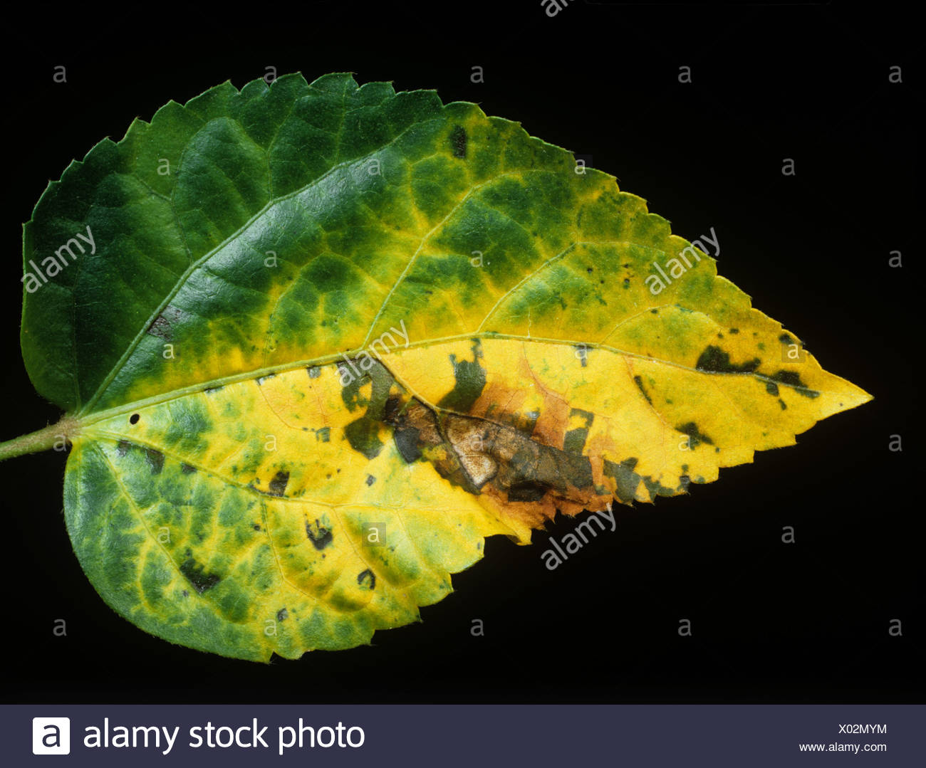 Bacterial Leaf Spot Xanthomonas Malvacearum On Hibiscus Leaf Stock
