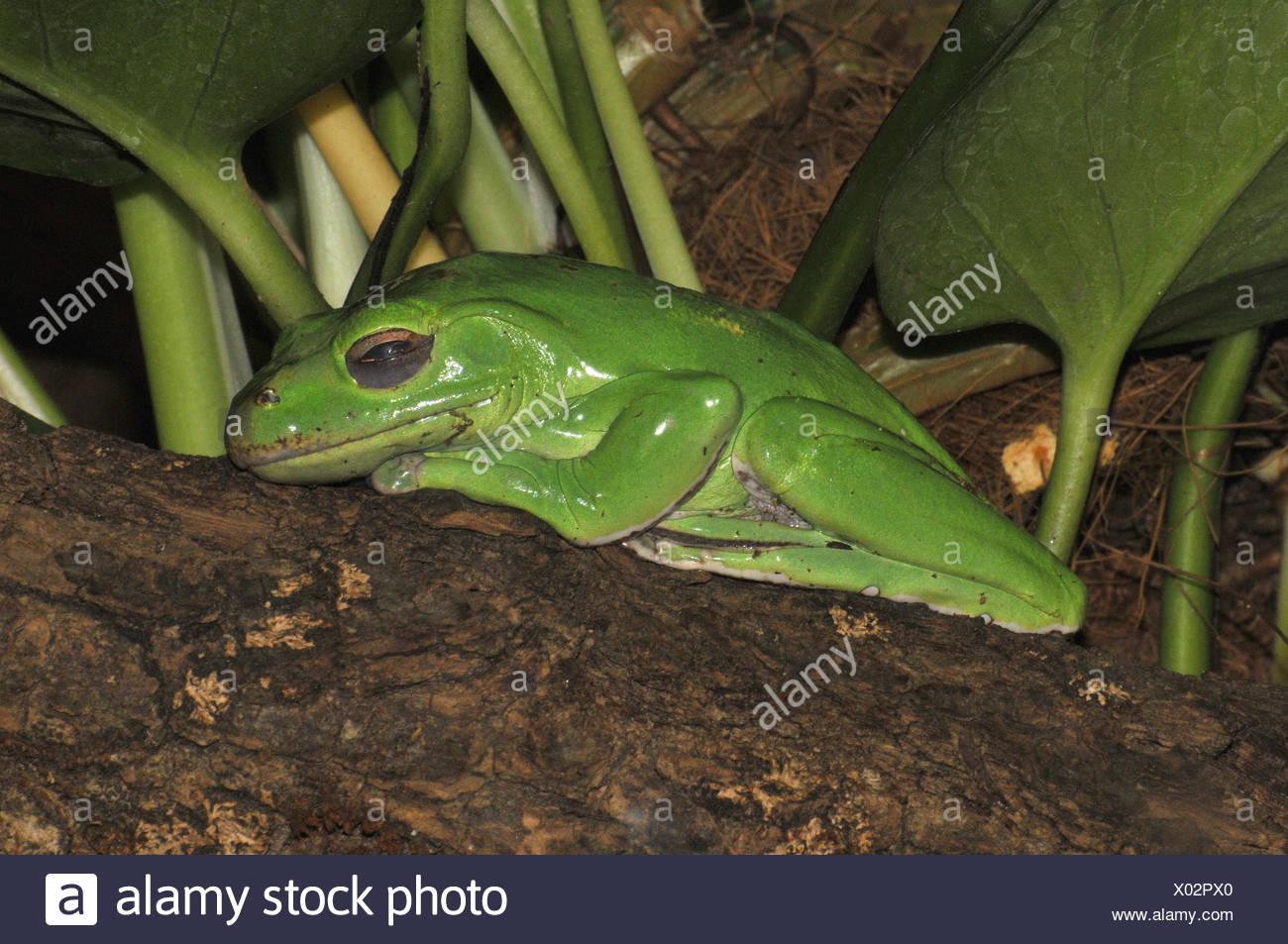 Tree frog, asleep, - Stock Image