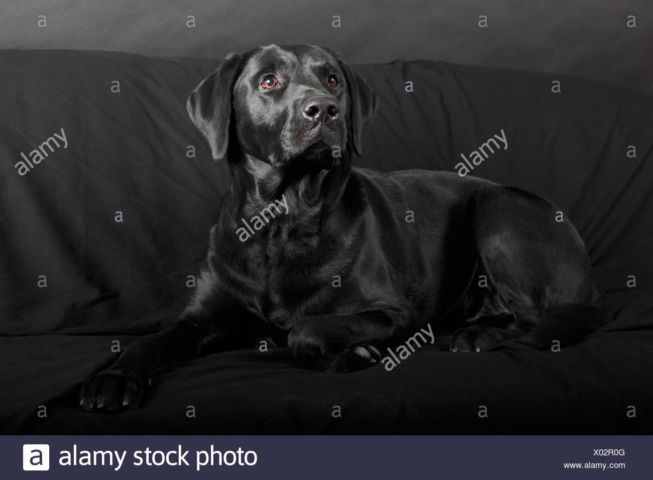 Black Labrador Retriever, male, lying on a black sofa, Germany - Stock Image