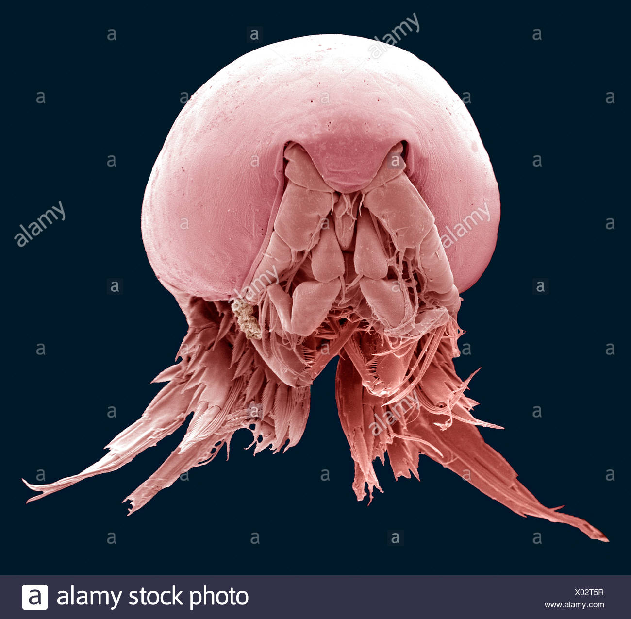 Copepod, SEM Stock Photo