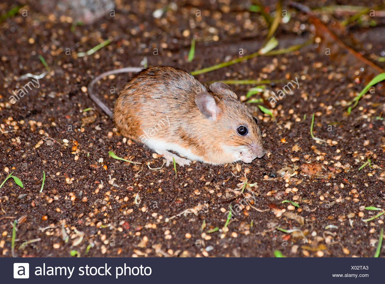 Asia Minor spiny mouse - Stock Image