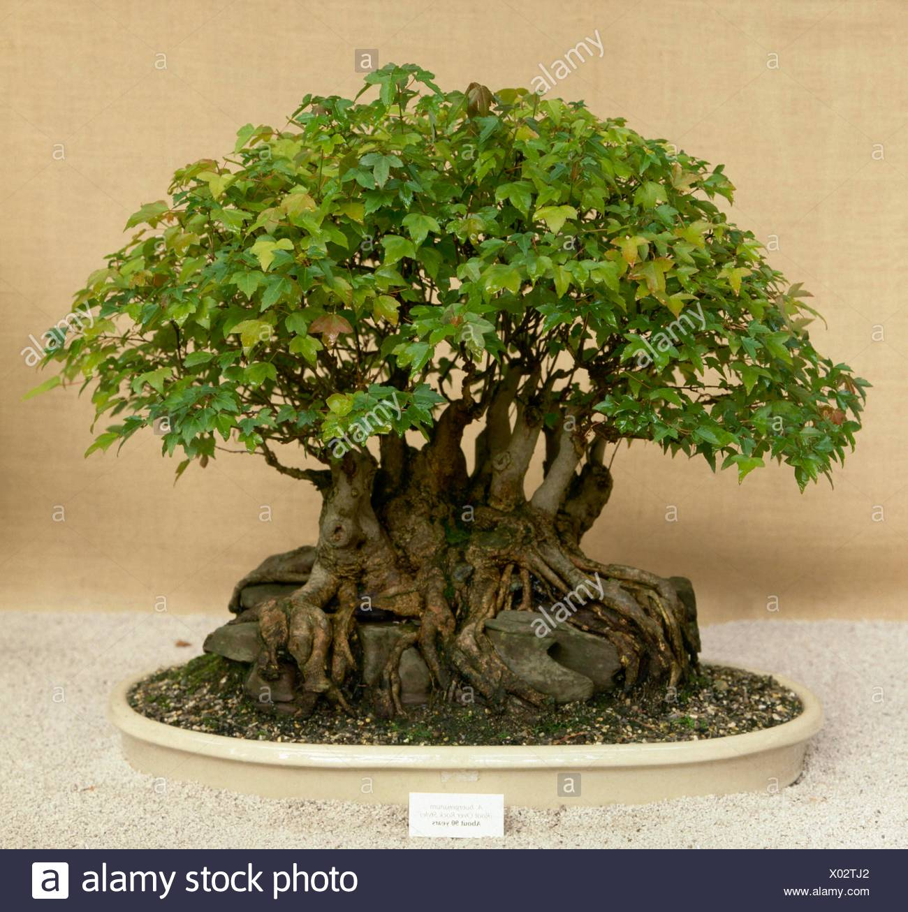 Acer Bonsai Stock Photos Acer Bonsai Stock Images Alamy