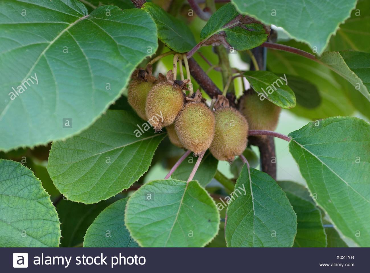 kiwi fruit, Chinese gooseberry (Actinidia deliciosa 'Jenny', Actinidia deliciosa Jenny), fruit on a branch - Stock Image