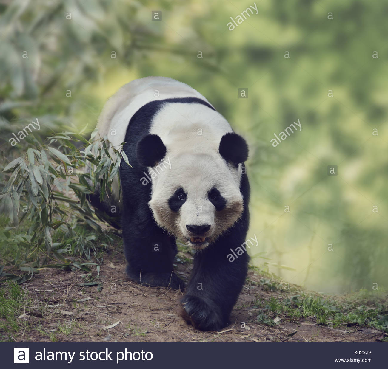 Giant Panda Bear Stock Photo
