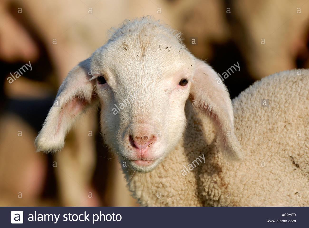 Lamb, Merino Sheep - Stock Image
