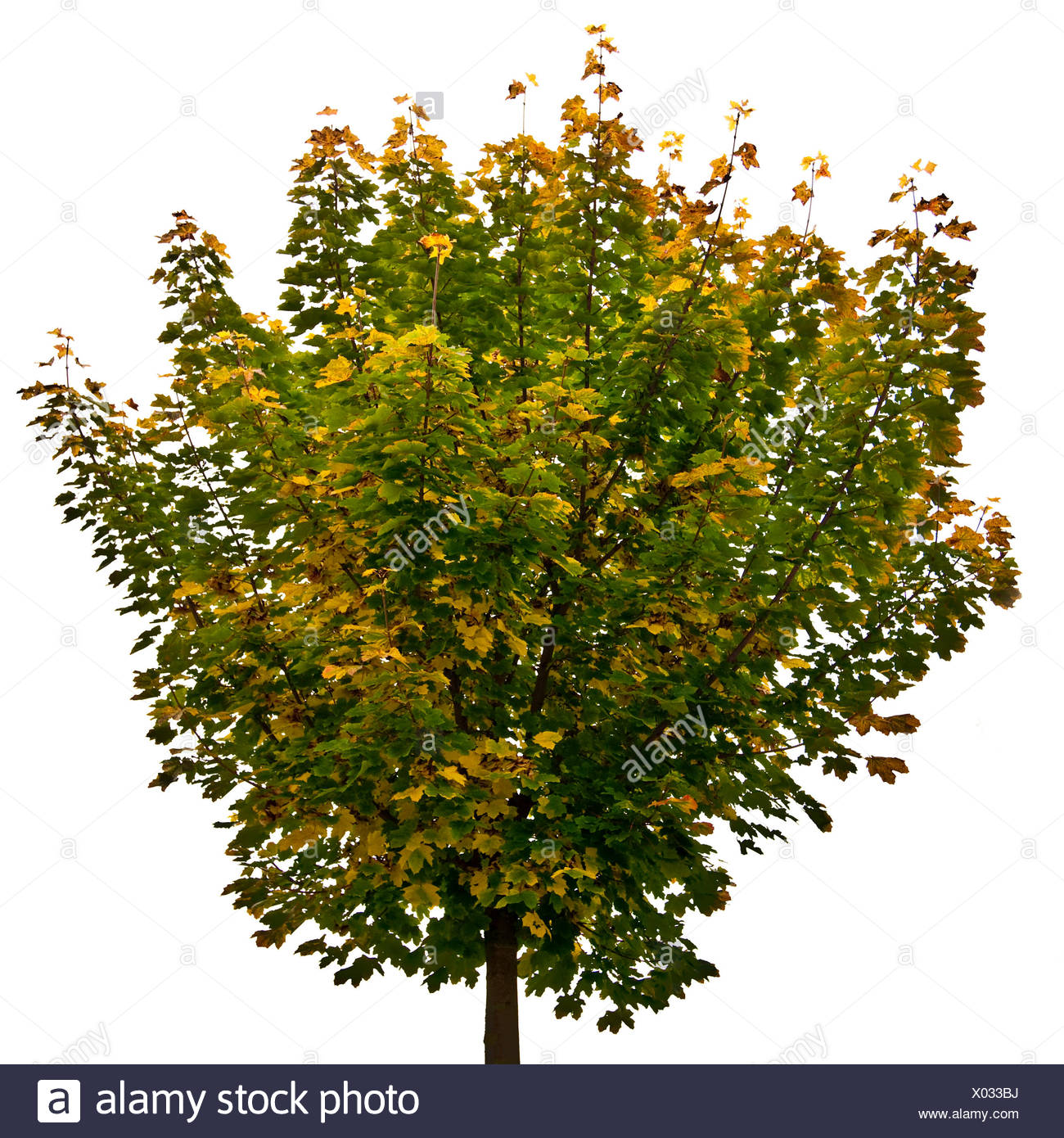 Maple tree (Acer) - Stock Image
