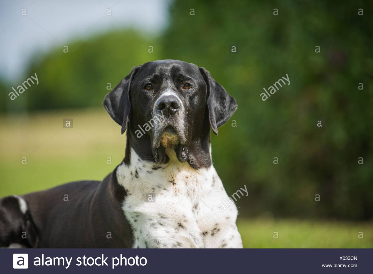 Great-Dane-Mongrel Portrait - Stock Image