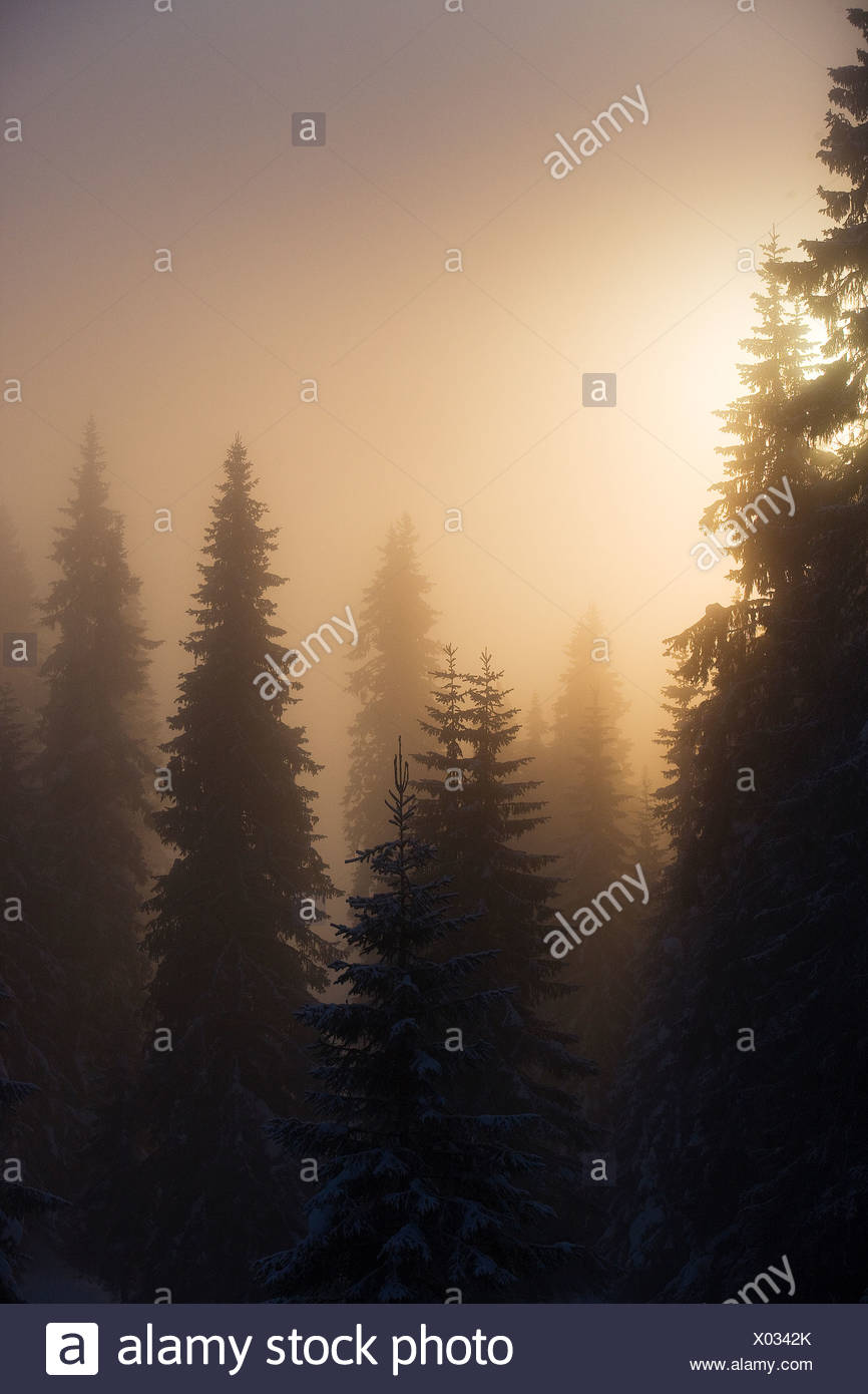 Scenic view of snow-capped fir trees in the hazy sunshine - Stock Image
