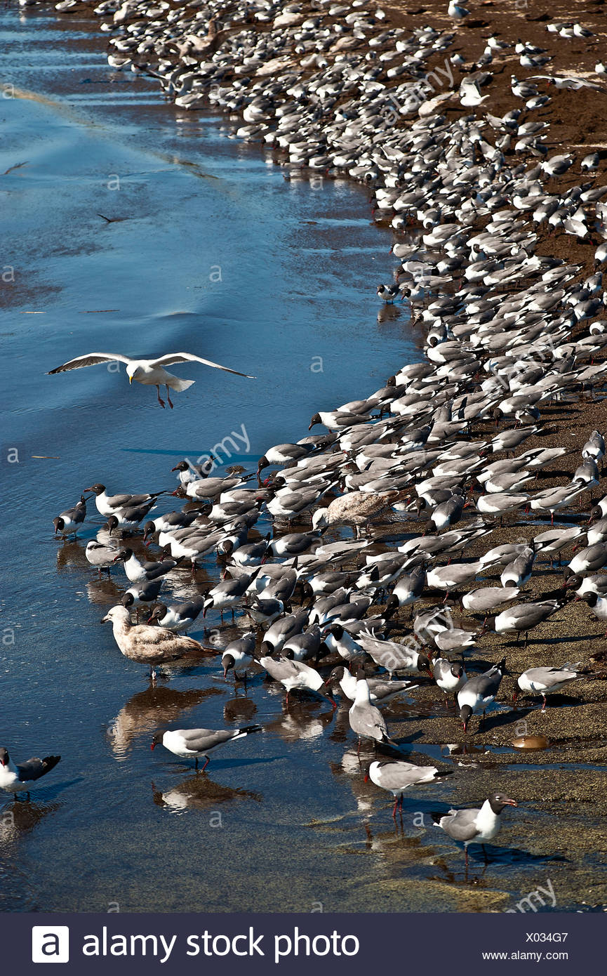 Red knots feeding, Calidris canutus, Reeds Beach, Delaware Bay, New Jersey, - Stock Image