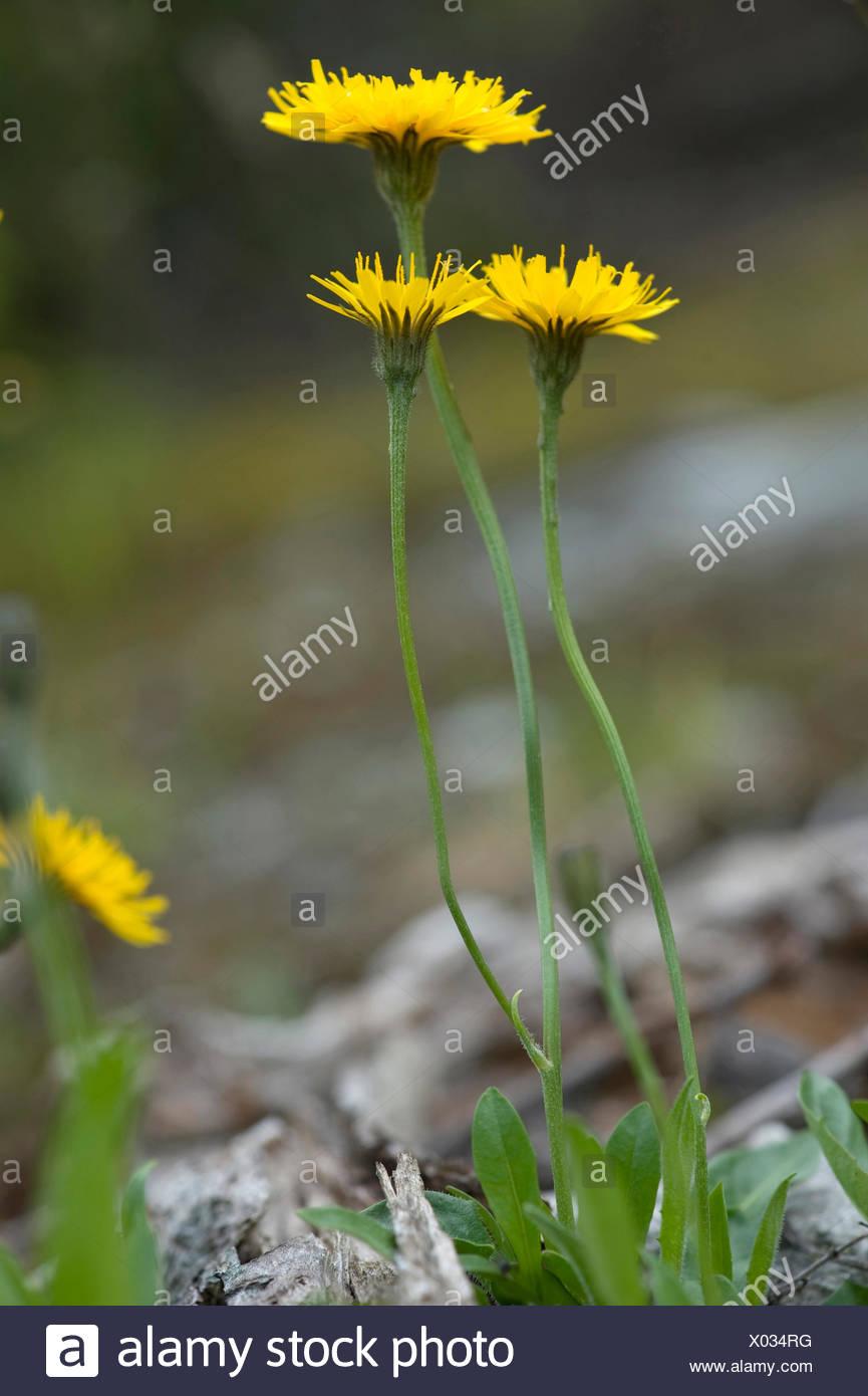 Swiss Hawkbid (Scorzoneroides helvetica), blooming, Switzerland - Stock Image