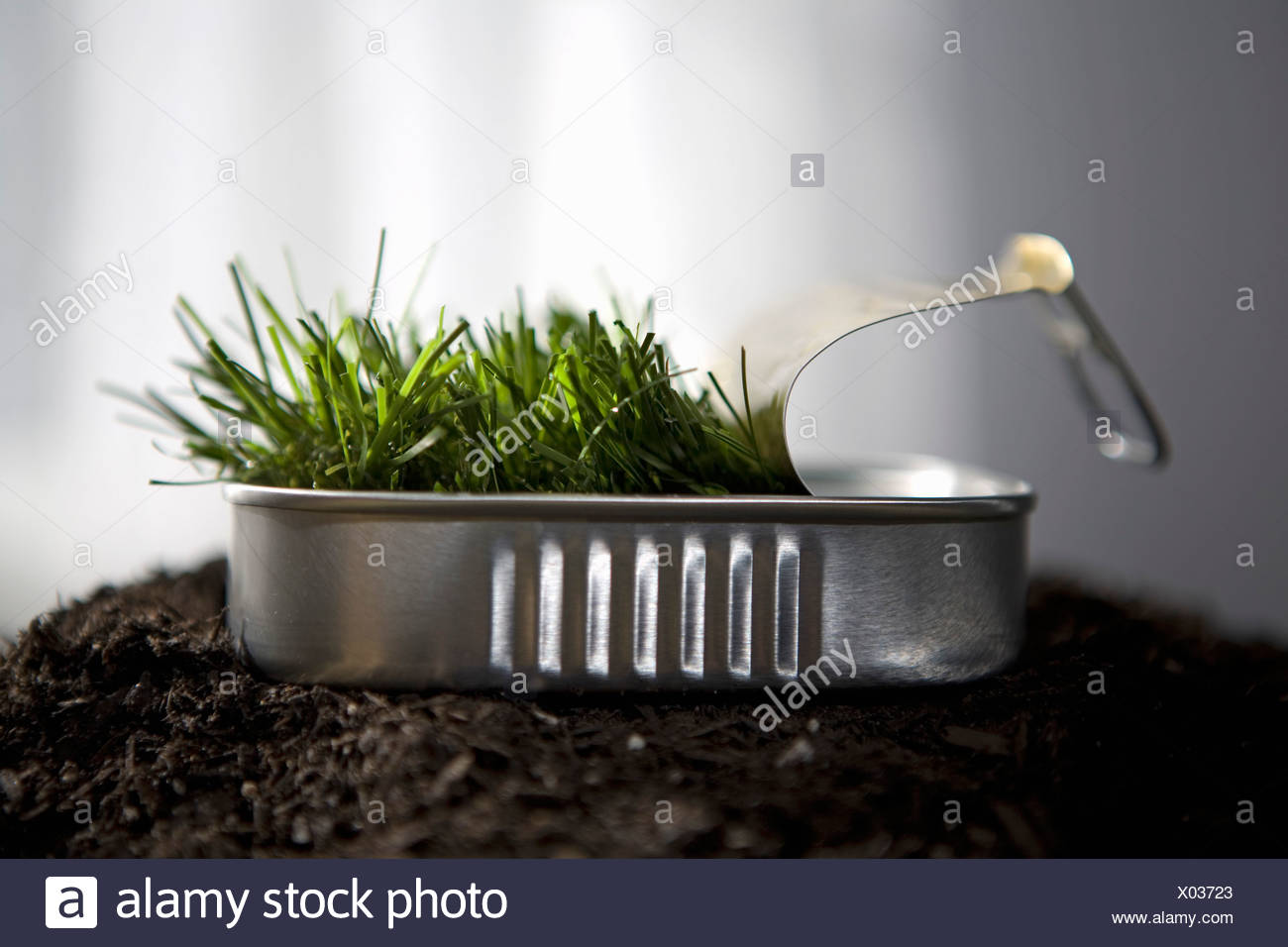 Grass sprouting in sardine can - Stock Image