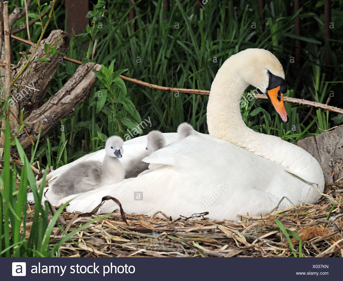 A swan with young cygnets sitting in her wings. Stock Photo