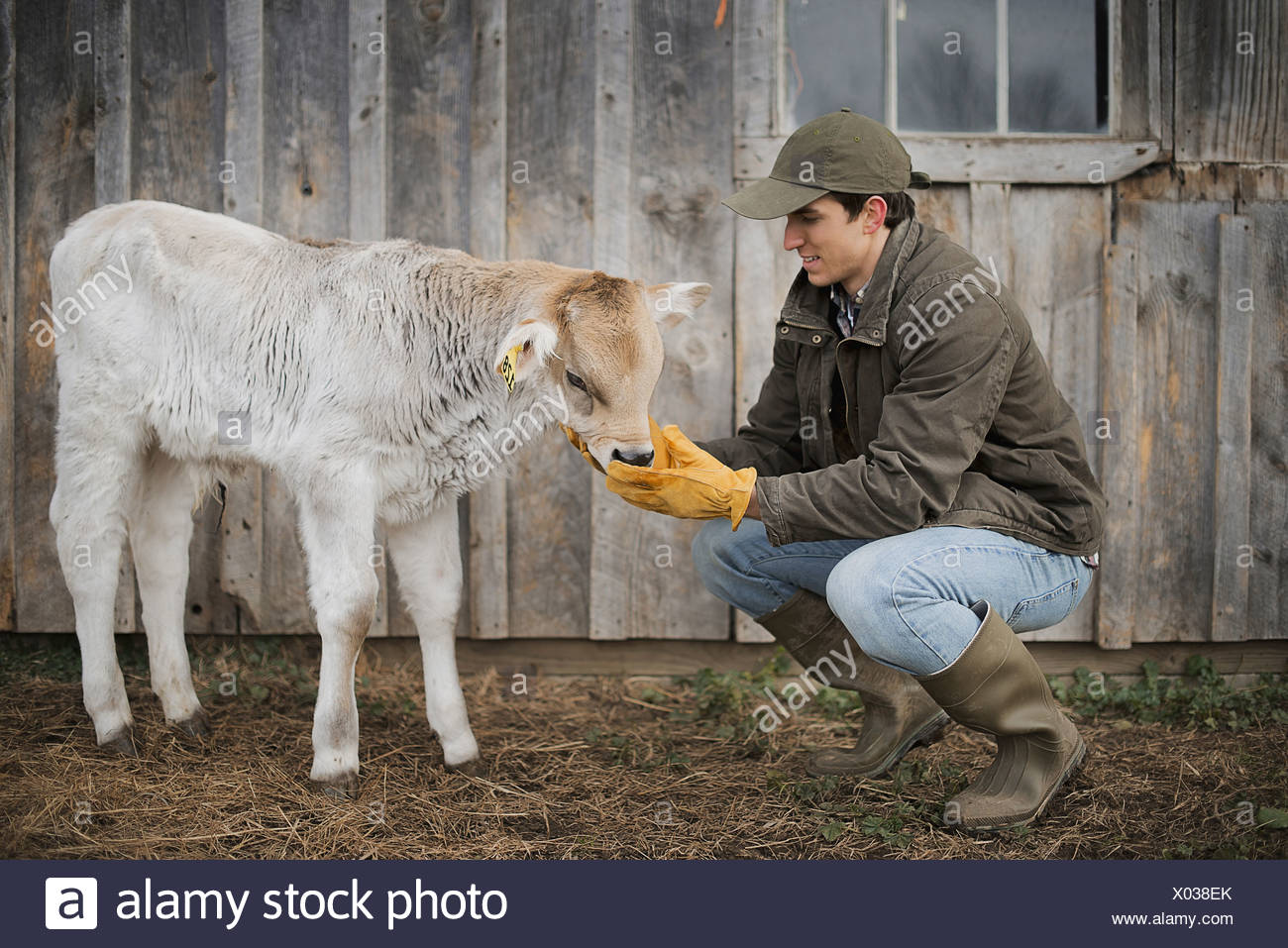 Dairy Farm Farmer working and tending to the animals - Stock Image 290d0142615