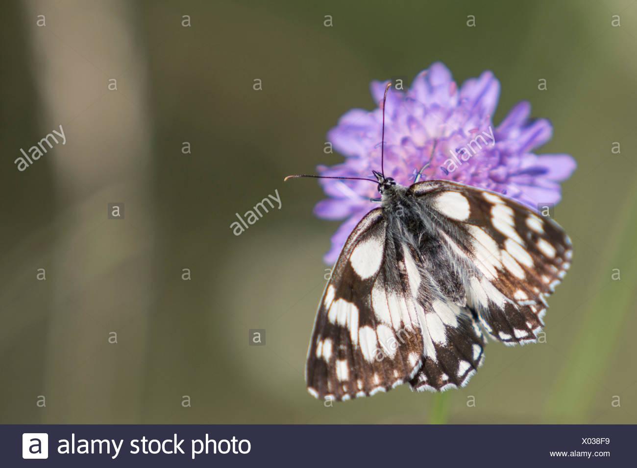 marbled white, flower, Melanargia galathea - Stock Image