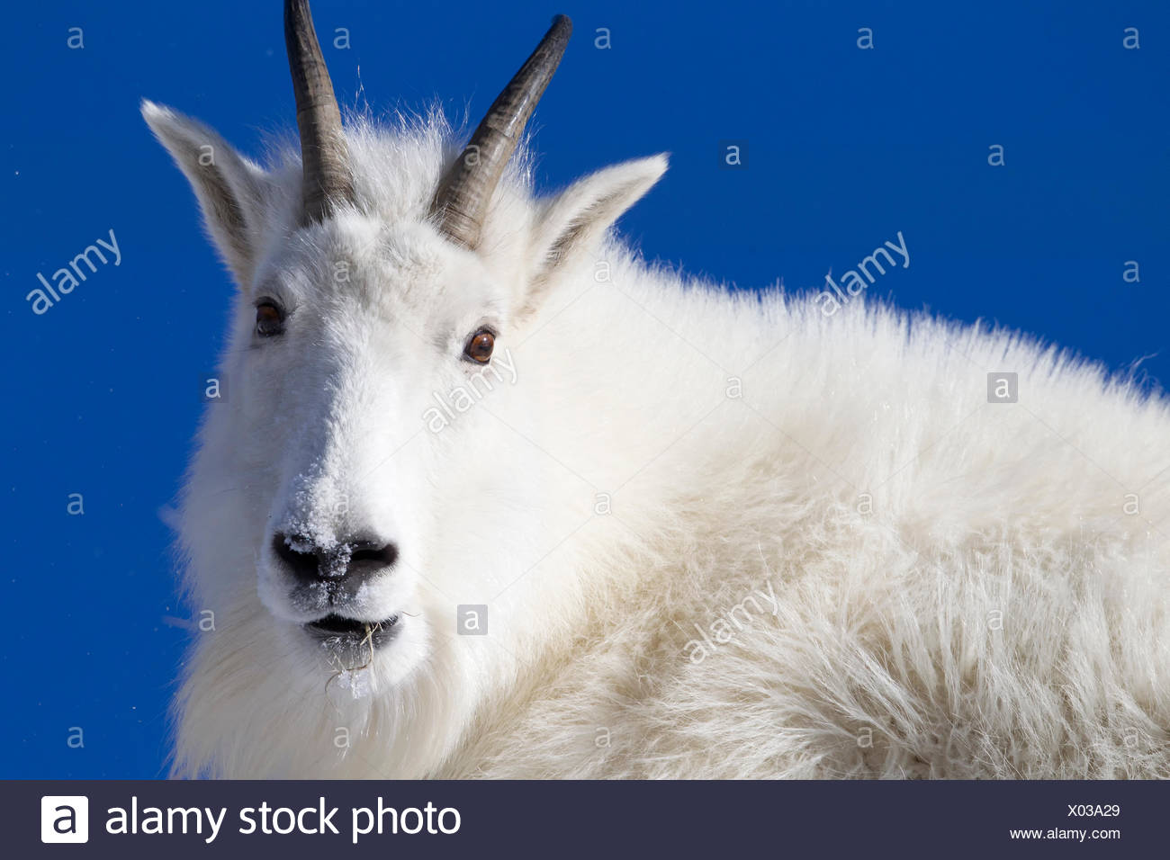 Close up portrait of a mountain goat, Oreamnos americanus, with thick fur. - Stock Image