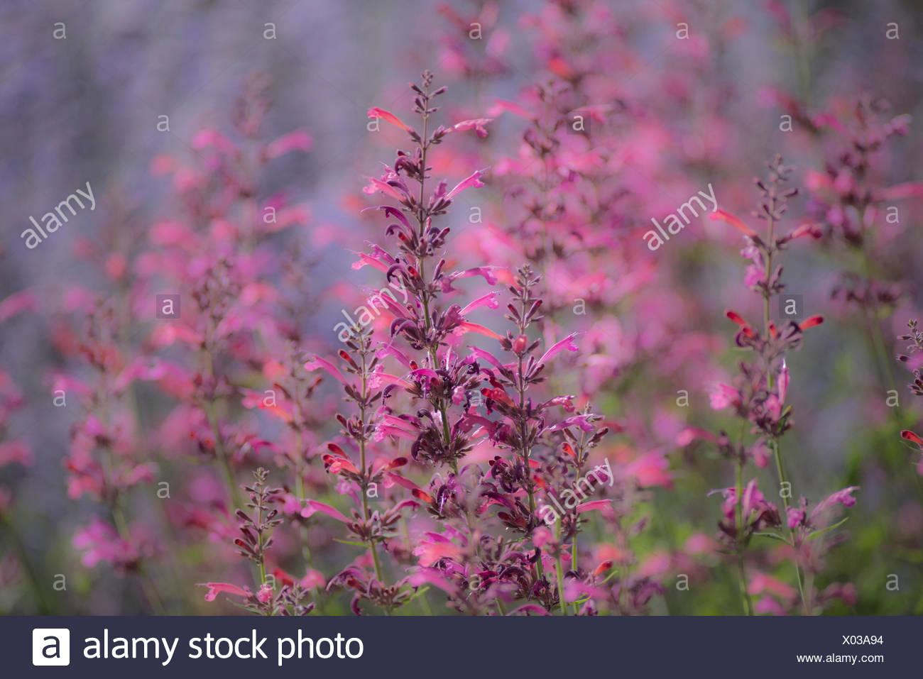Oregon, Bend, garden - Stock Image