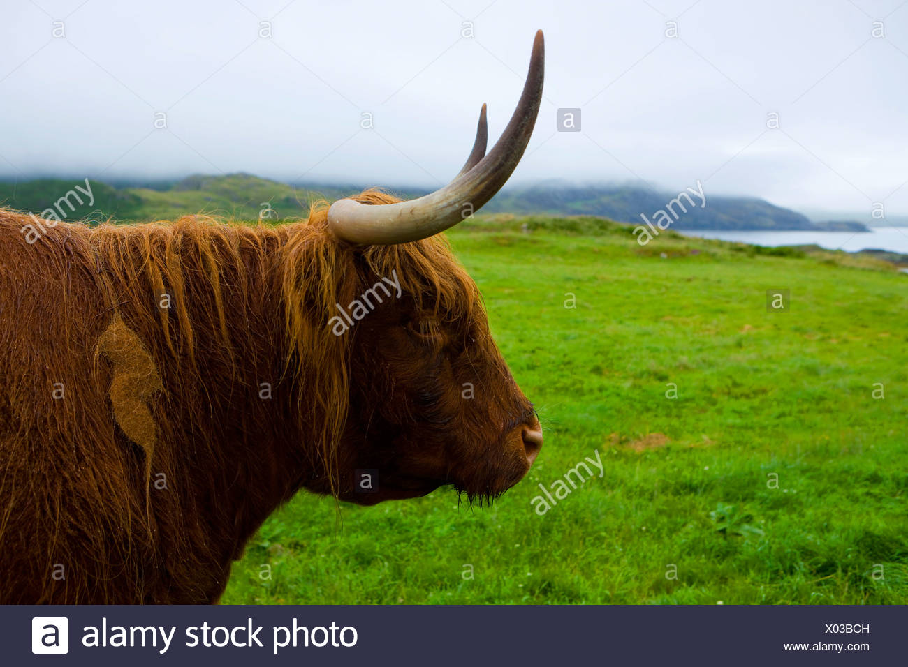 Scourie, highland bovine animal, Great Britain, Scotland, Europe, mammal, domestic animal, pet, Scottish highland bovine animal, - Stock Image