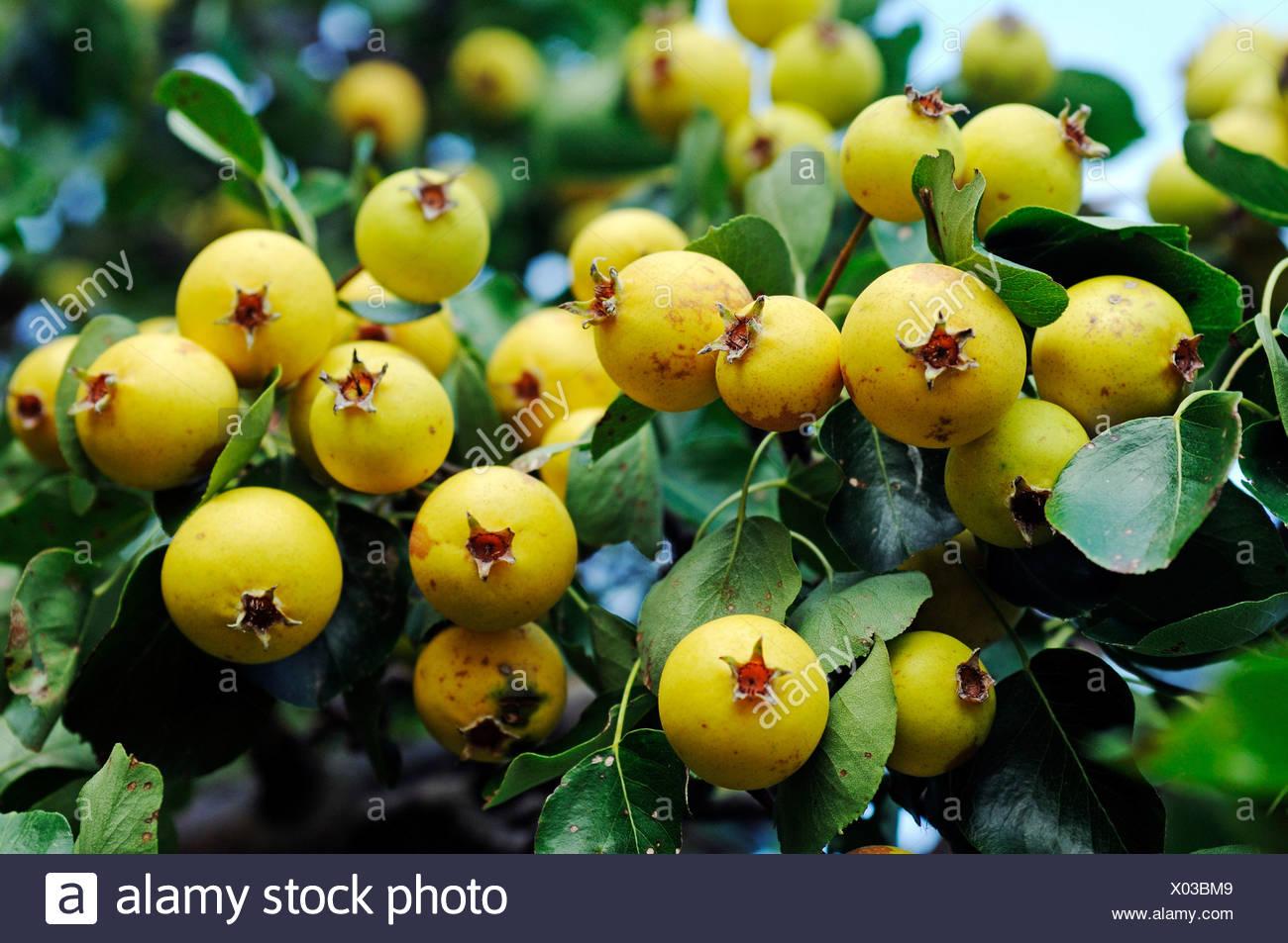Wild Pear (Pyrus pyraster), pear, Biosphaerenreservat Suedost-Ruegen Biosphere Reserve South-East Ruegen, Ruegen Island - Stock Image