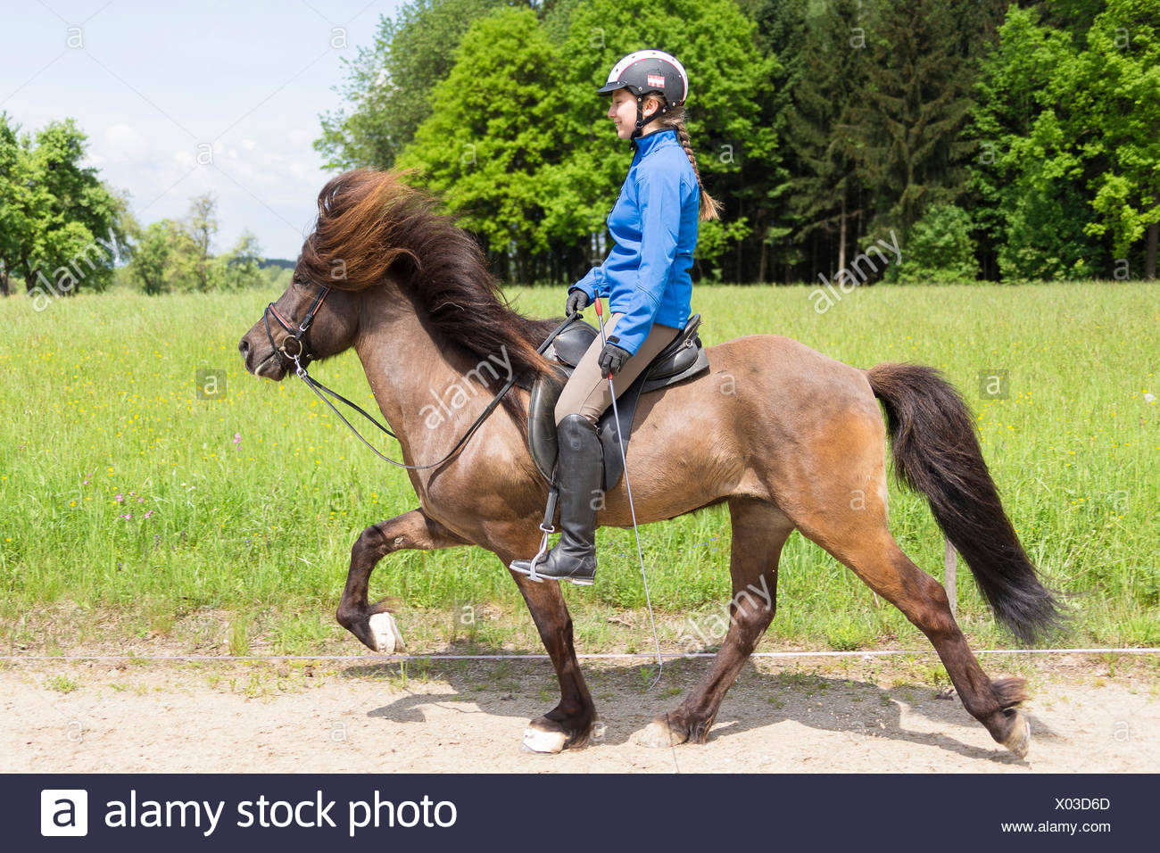 Islandic Horse Stallion rider at the toelt Austria Stock Photo
