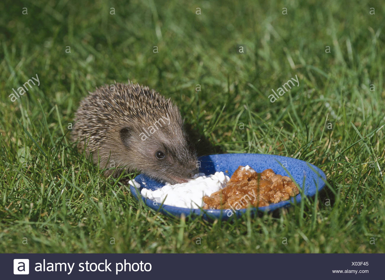 Meadow, plate, lining, European, hedgehog, young animal, Erinaceus europaeus, eat animals, animal, mammals, mammal, Erinaceidae, insectivore, nocturnal, cat's lining, cottage cheese, cheese, lining space - Stock Image