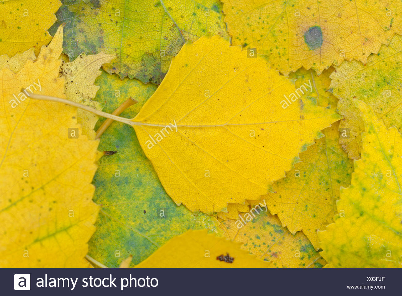 birch (Betula spec.), birch leaves in autumn on the ground, Germany, North Rhine-Westphalia - Stock Image